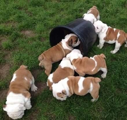 magnifiques chiots bulldog anglais vendre quebec annonces gratuites qu bec annonces. Black Bedroom Furniture Sets. Home Design Ideas